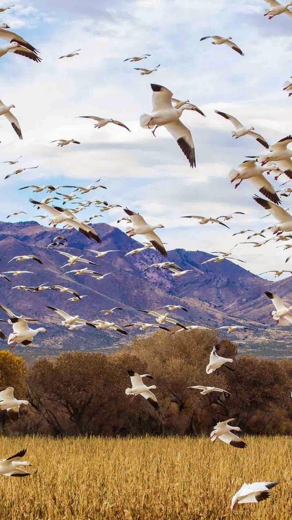 bird flock wallpaper