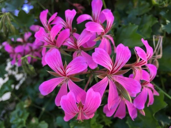 iPhone 6s Plus flower image
