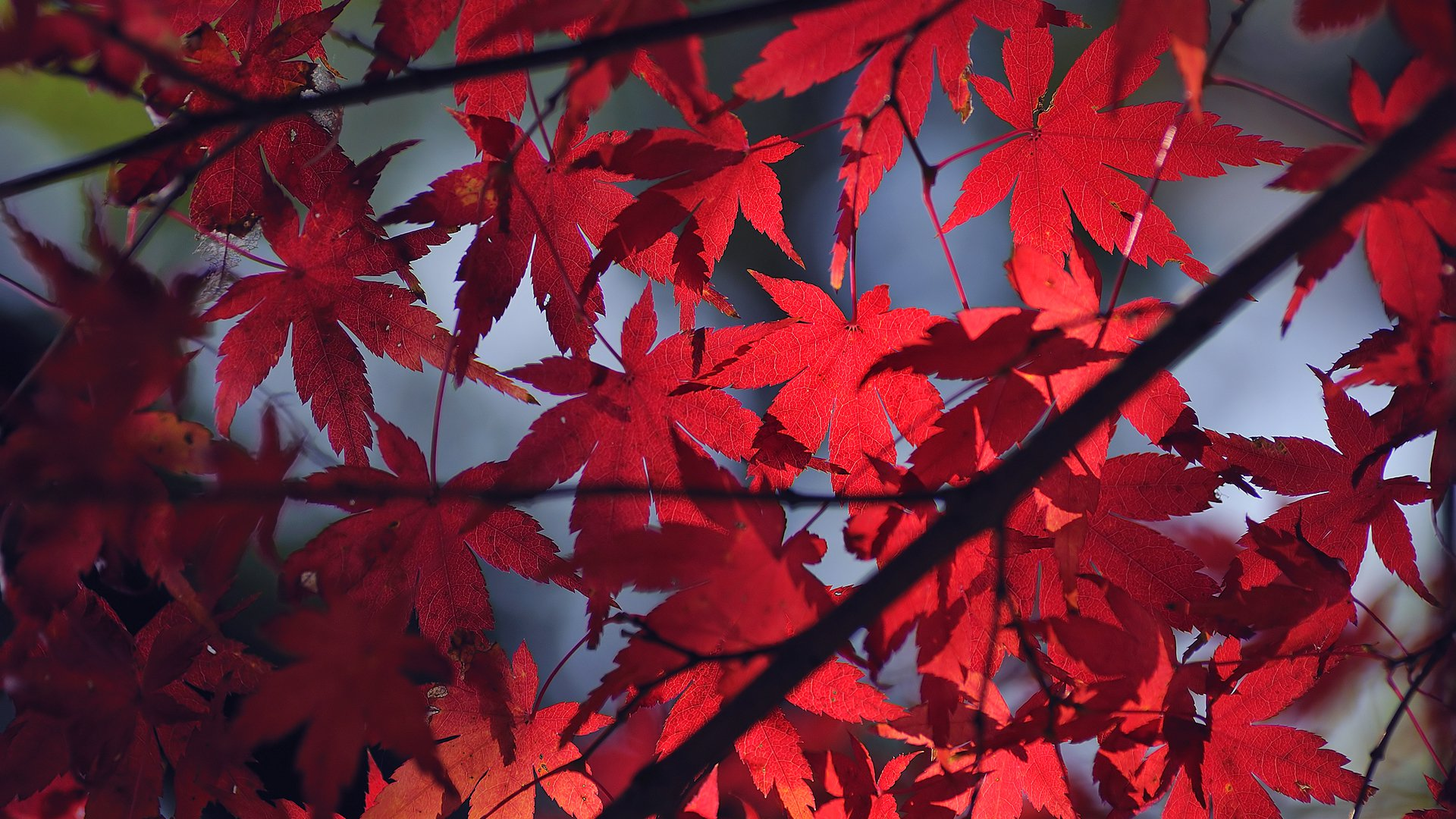 autums-backgroud-full-red-leaves