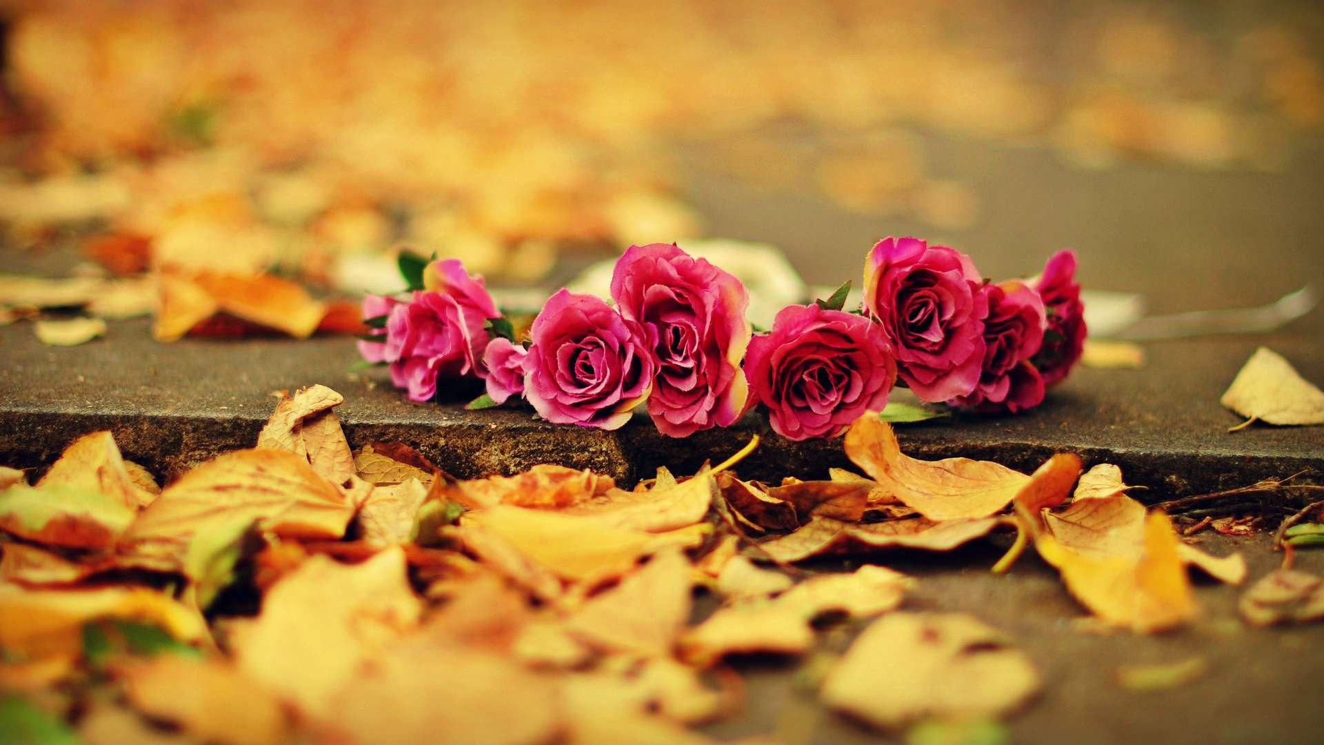 fall-background-rose