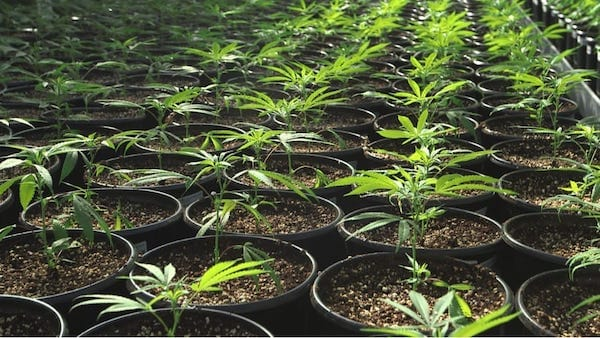 Cannabis Farm image